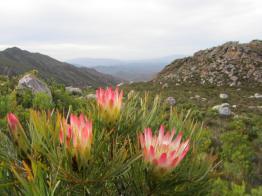 Suikerbossies (Protea repens) on Stanley's Mountain Run 2012