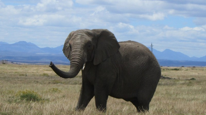 Female elephant, Garden Route Game Lodge