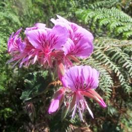 Pelargoniums at Kranshoek