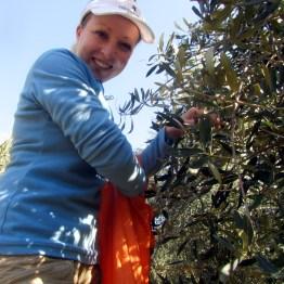 Olive picking at Mount Ceder