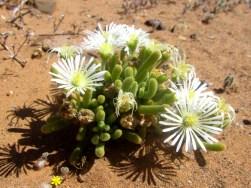 Flowering succulents, Tankwa Karoo