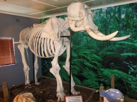 "Skeleton of elephant bull, discovered in 1983 in Harkerville indigenous forest south of ""Garden of Eden"" about 10 years after it died of old age."