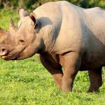 Addo Elephant National Park Black Rhino