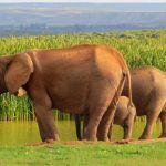 Addo Elephant National Park Elephants At The Waterhole