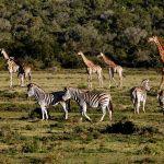 Addo Elephant National Park Giraffe and Zebra Roaming Together