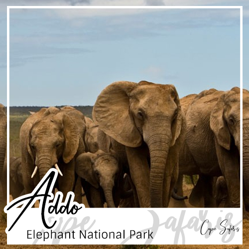 Addo Elephant National Park Fetured Image 2019
