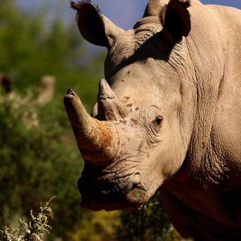 Dwyka Tented Lodge Rhino