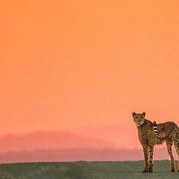 Great Fish River Lodge Cheetah