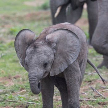 Kichaka Luxury Game Lodge Baby Elephant
