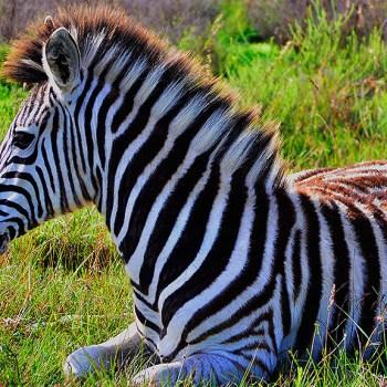 Mills Manor Zebra