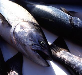 Our_Salmon_LSCC