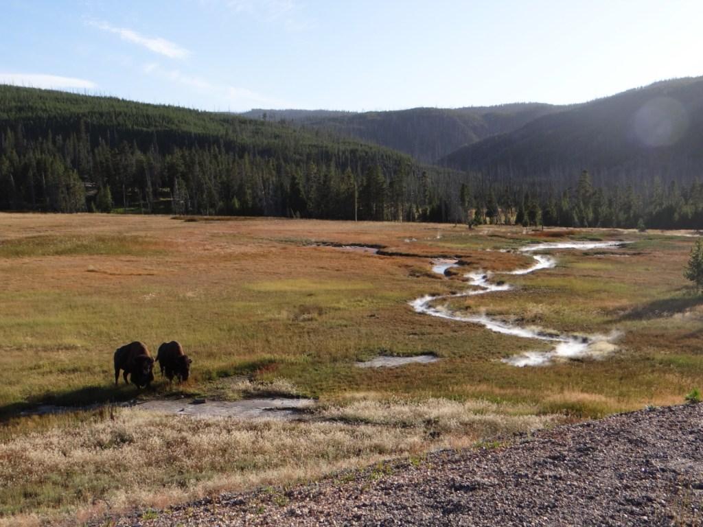 Yellowstone National Park Bisons // USA