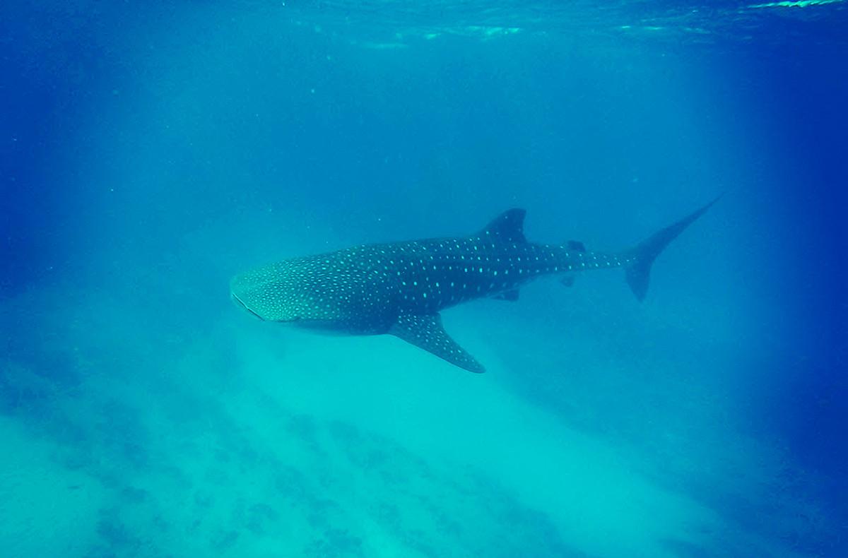 Australia Whale Shark Tour Ningaloo Reef