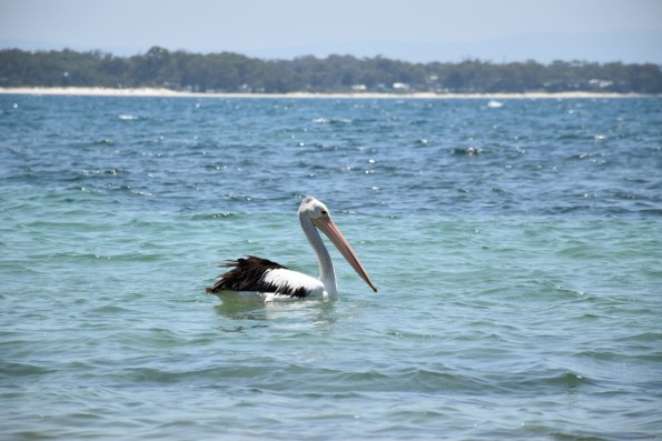 Pelican New South Wales Australia