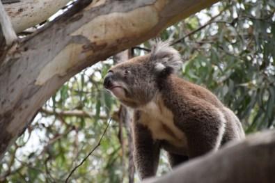 Koala Great Ocean Road Victoria Australia