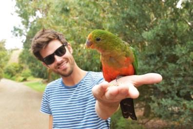 Parakeet Great Ocean Road Victoria Australia