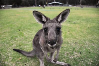 Kangaroo Halls Gap Victoria Australia