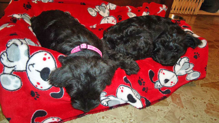 Luke and Leia miniature schnauzer puppies at 8 weeks
