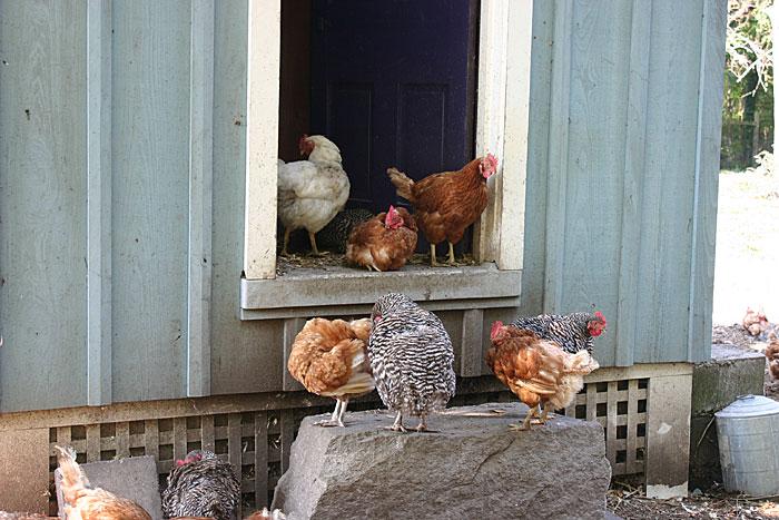 hen-house