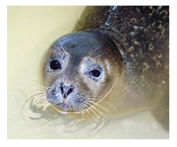 Harbor-Seal-Face
