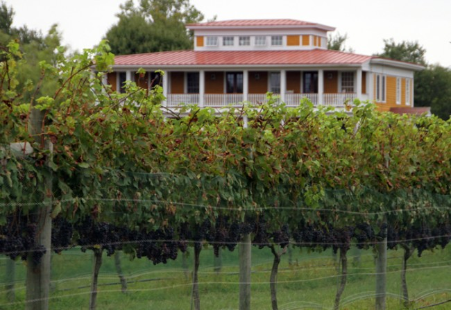 Grapes are ripening and nearly ready to harvest.