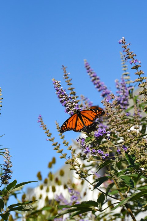 Monarch Butterfly on Beach Avenue