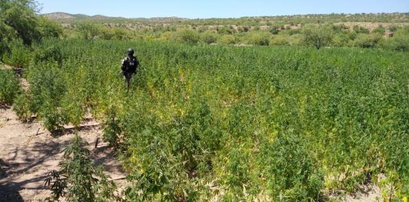 Guardia Nacional Y SEDENA destruyeron plantío de amapola y marihuana en Sonora