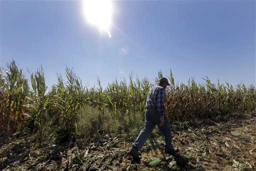 FILE  - In this Oct. 16, Larry Hasheider walks along one of his corn fields on his farm in Okawville, Ill.  (AP Photo/Jeff Roberson, File)