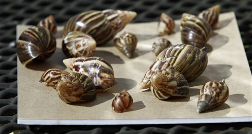 A collection of giant African land snails in Miami  (AP Photo/J Pat Carter)