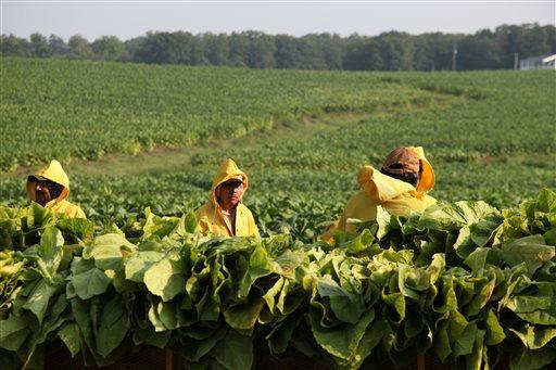 Farm workers, from left, Carlos Sanchez, Francisco Zuniga, and Alejandro Zuniga, pick tobacco leaves on Chris Haskins' farm in Chatham, Va.  (AP Photo/Johnny Clark)