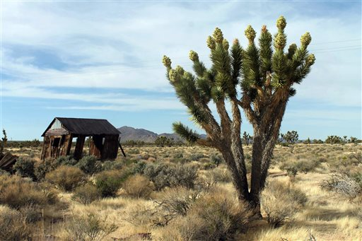 FILE - In this April 6, 2013, file photo, Joshua trees display unusually abundant booms in the Cima Dome area of the Mojave National Preserve. President Barack Obama is granting national monument status to nearly 1.8 million acres of scenic California desert wilderness, including land that would connect this preserve to other established national monuments and national parks in the area. Obama, in California this week for a fund-raising swing, plan to make the announcement Friday, Feb. 12, 2016  (David DanelskiThe Press-Enterprise via AP, File)  MANDATORY CREDIT