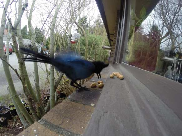 A Steller's jay snags peanuts on a windowsill to go and cache elsewhere (Images: Brendan McGarry)