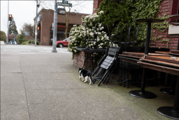 The confident kitty sauntered onto Broadway Ave E. to size up the action at Julia's, evidently...