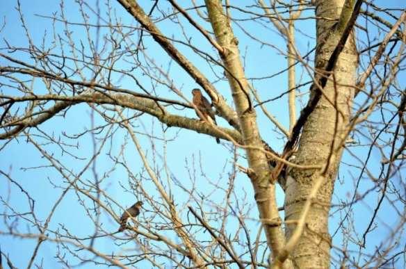 A Cooper's Hawk pair (Image: Simone Lupson-Cook)