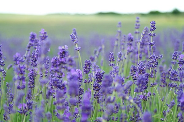 lavender flowers meadow