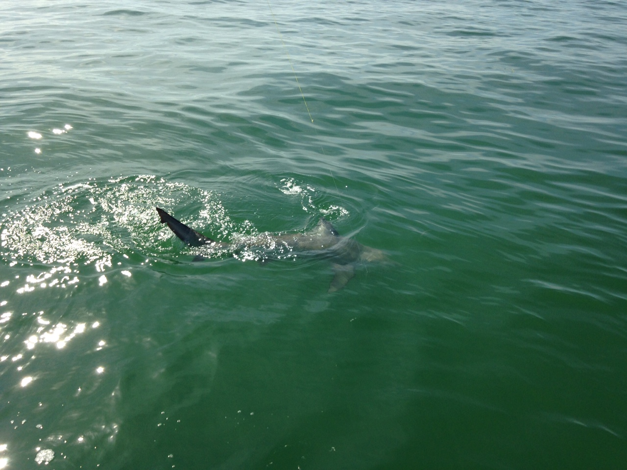 Big bull shark caught off Marathon last week. Shark fishing charters offer exciting action with big fish.