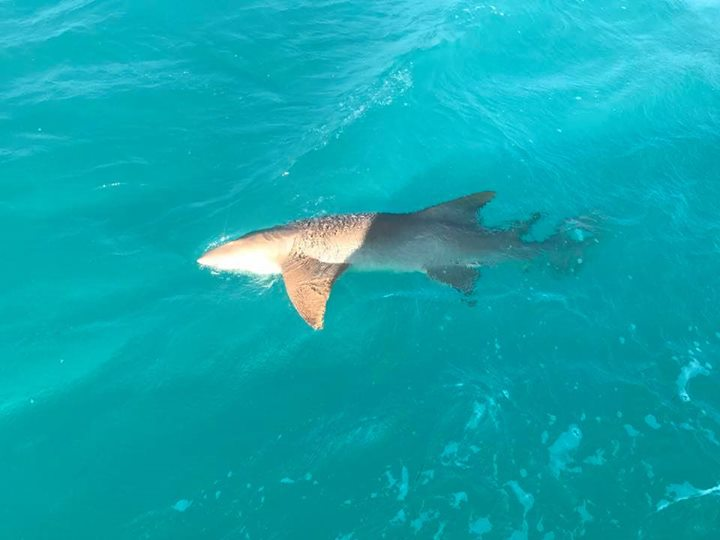 Big nurse shark to start the day.