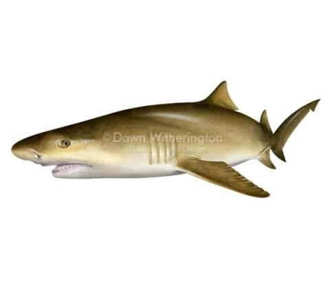 Lemon shark, picture from http://www.drawnbydawn.com