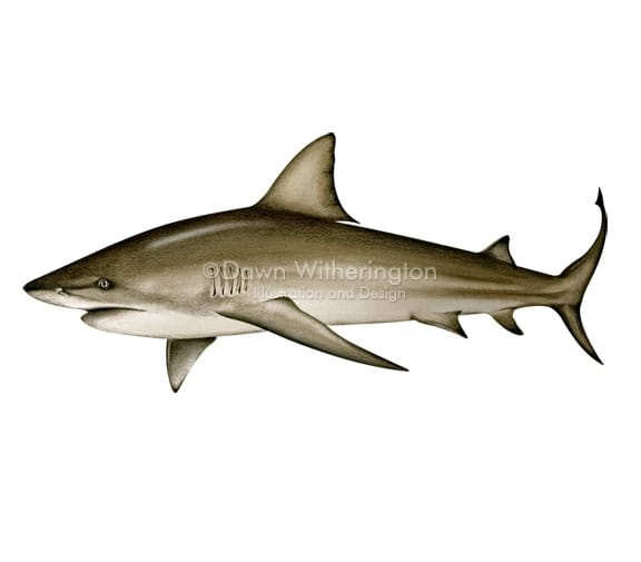 Bull shark, picture from Tarpon, picture from http://www.drawnbydawn.com/