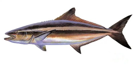 Cobia, picture from http://fineartamerica.com/featured/cobia-carey-chen.html