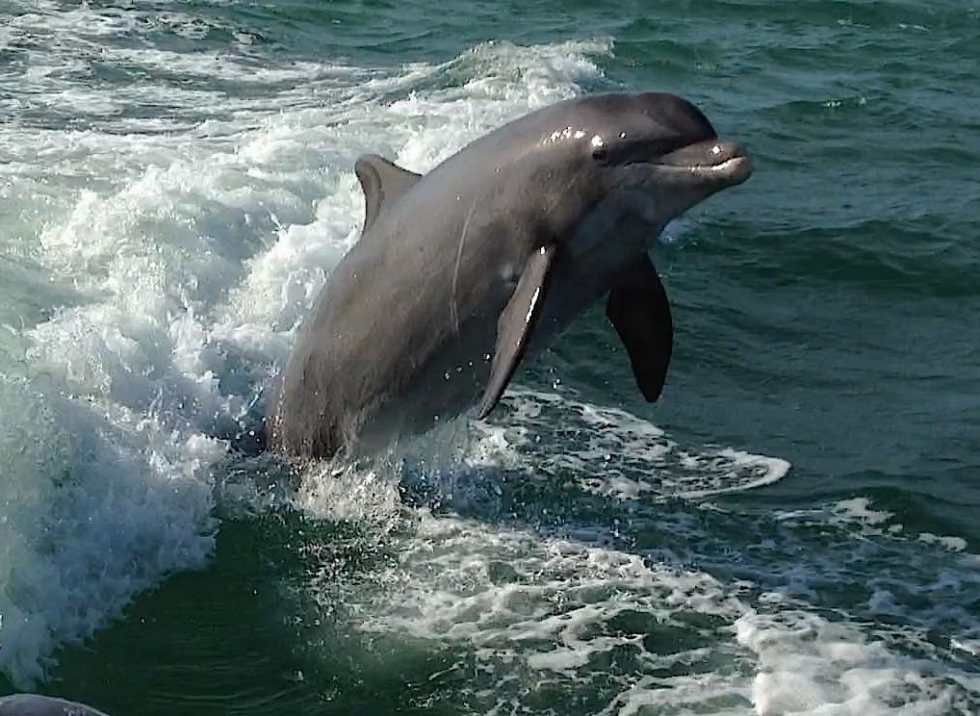 Captiva Dolphins, Jumping The Wake, 2-24-14, Sanibel & Captiva Islands & Fort Myers Charters & Fishing Guide Service.