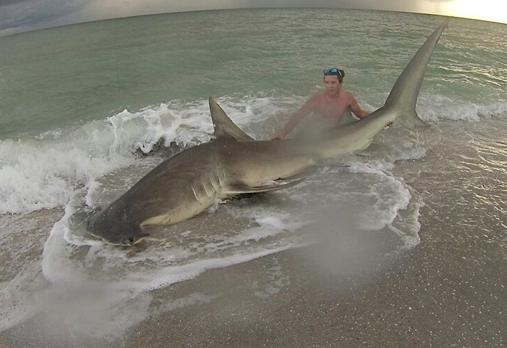 Hammerhead Shark, Sanibel Beach, Catch & Release 2, Courtesy Of Cullem Scott Guthrie, Sanibel Fishing & Captiva Fishing, Tuesday, August 2, 2016.