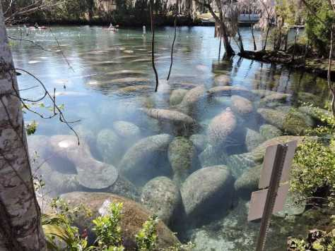 Three Sister Springs Manatee Count. Approximately 5-7 years ago, about 65 manatees congregated at the springs at high tide on an average cold winter's day. In recent winters, the count at times has gone as high as 528! Courtesy Of FWC.