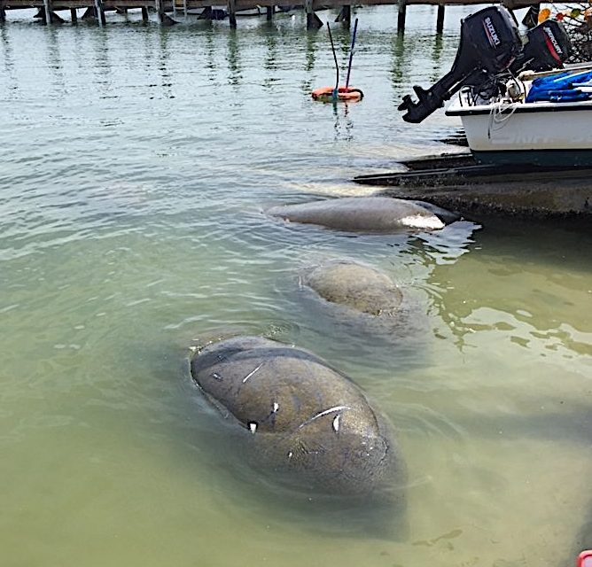 Manatees Feeding, Jensen's Marina, Sanibel Island Fishing Charters & Captiva Island Fishing Charters, Sanibel Island, Saturday, March 10, 2018.