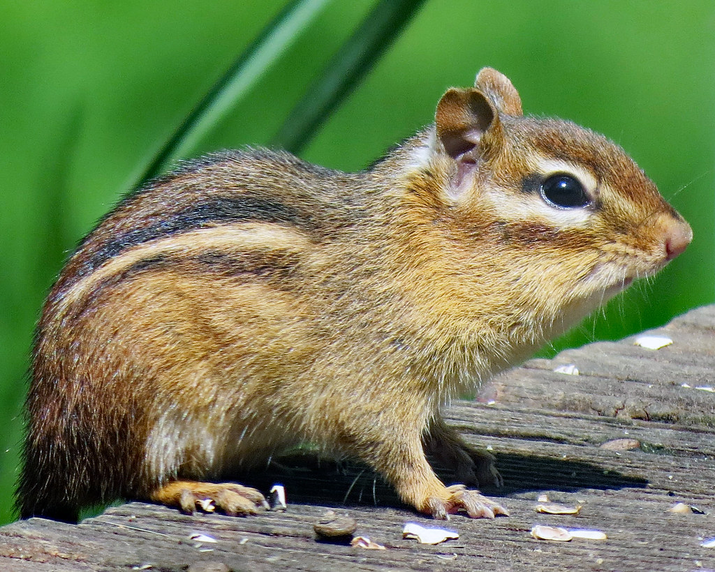 chipmunk trap humane tips