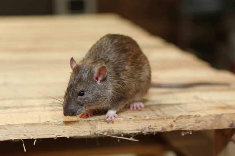 mouse trat prevention
