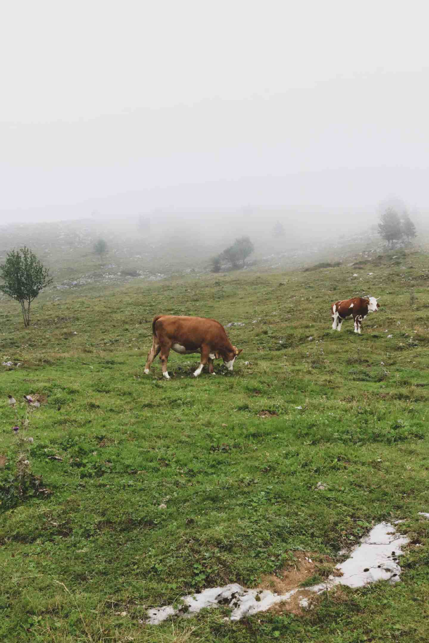 Cows on Velika Planina