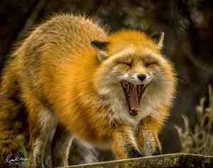 Red Fox (Vulpes vulpes) yawning