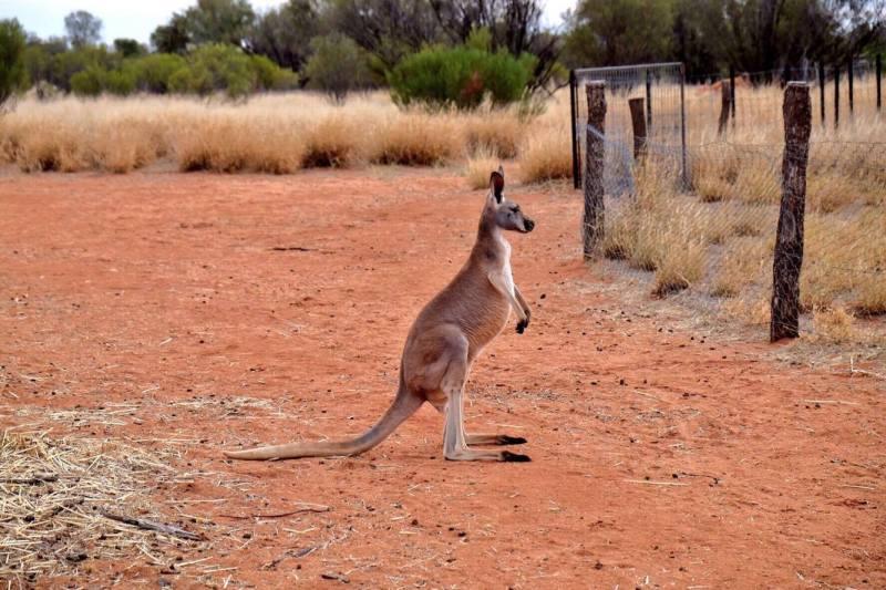 sanctuaire kangourous alice springs 4