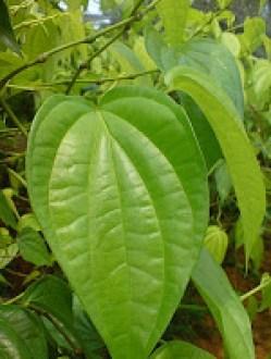 Khasiat daun sirih hijau